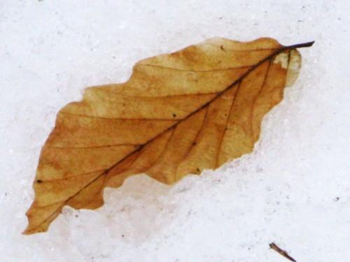 IMG_6045 - Blatt im Schnee.jpg